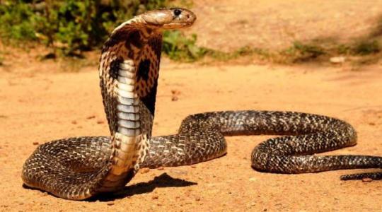 Топ-10 самые ядовитые змеи в мире